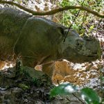 Every Sumatran rhino has died in Malaysia. Scientists want to bring them back with cloning technology